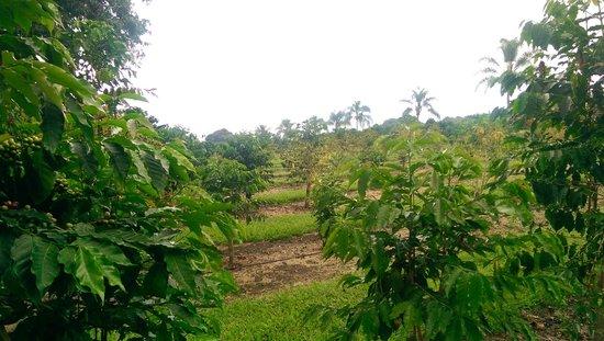 Mauka Meadows : Coffee Plantation Downslope