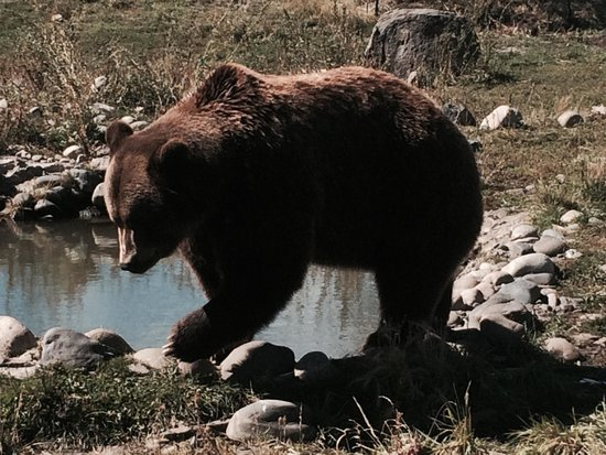 Montana Grizzly Encounter: Must see