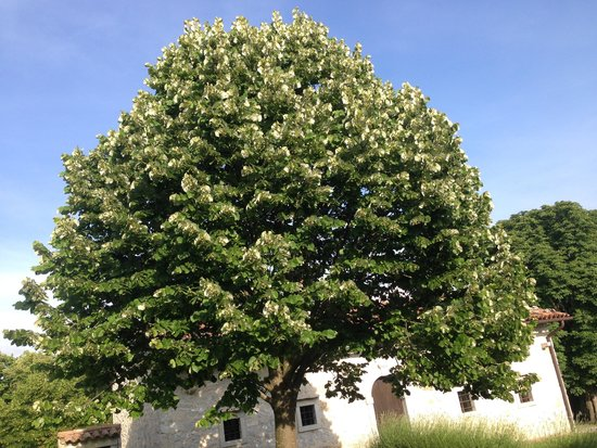 Linden Tree Stock Photography - Image: 35114342