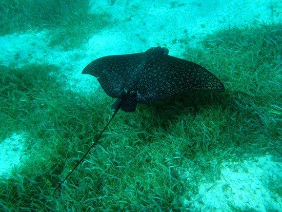 Hol Chan Marine Reserve: Rays, everywhere