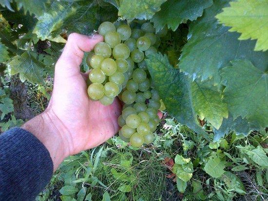 Agriturismo Ca Trinche: La dolcissima uva moscato