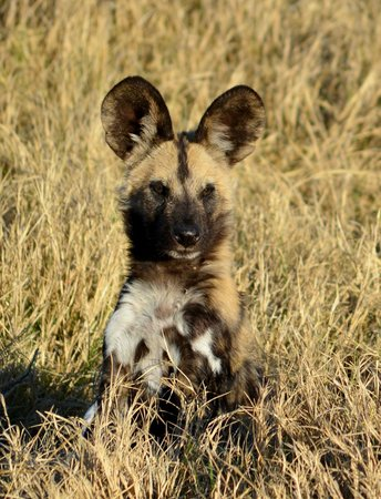 Little Kwara: Wild dogs galore!!