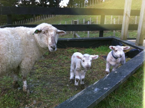 A Kiwi Farmstay: Lambs for hand rearing