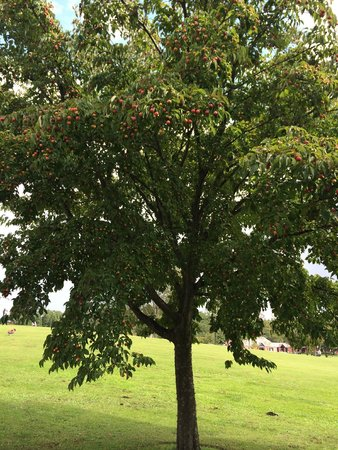 歩道脇、ヤマボウシの木に赤い実がたわわ