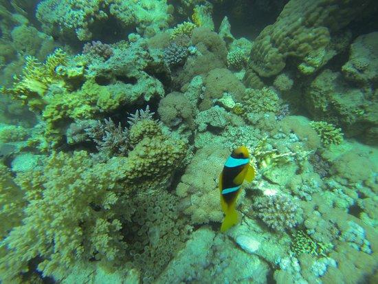 Marsa Shoona Bay: pesce pagliaccio
