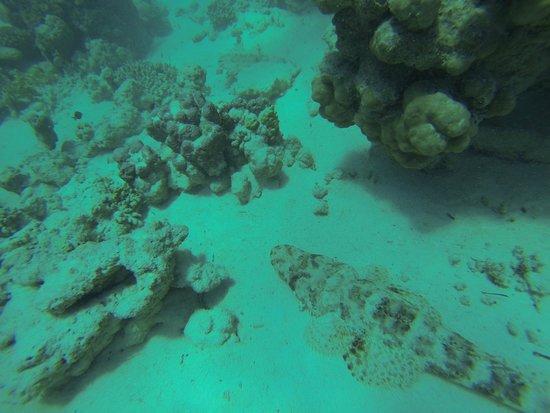 Marsa Shoona Bay: pesce coccodrillo