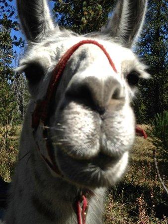 Wildland Llamas: Lucy Llama Llama