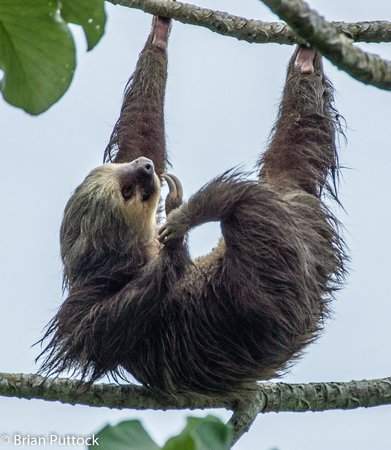 Gamboa, Panamá: 2 toed sloth in the parking lot