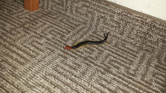 Comfort Suites Medical Center near Six Flags: Centipede found next to night stand.