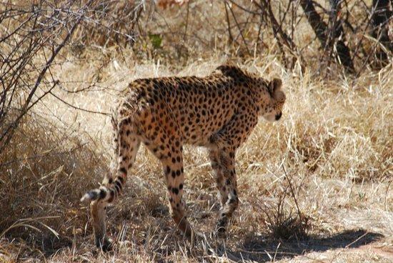 Cheetah Conservation Fund: So nah kommt man wirklich ran
