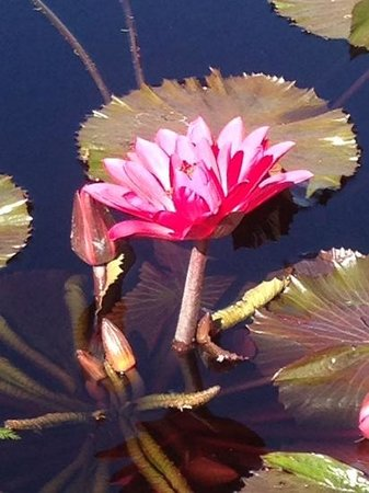 Missouri Botanical Garden: water lily