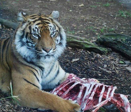 Auckland Zoo: Molek enjoying a special treat