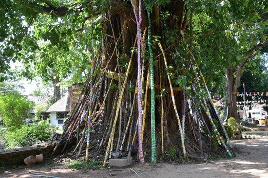 Chiang Saen: The Bodhi tree at Wat Chedi Luang