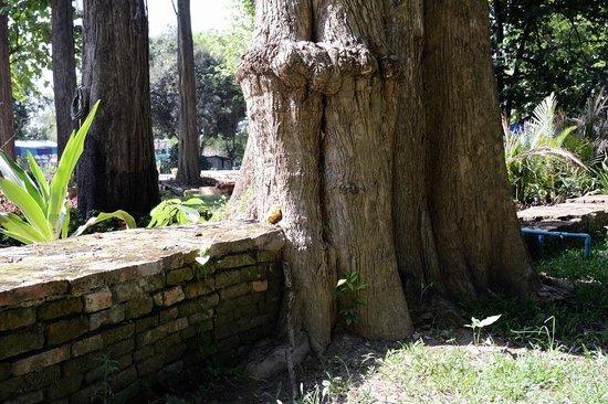 Chiang Saen: A tree grows over the foundation walls of a temple Vihara at Wat Chedi Luang