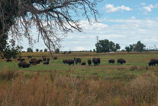Rocky Mountain Arsenal National Wildlife Refuge: Bison herd