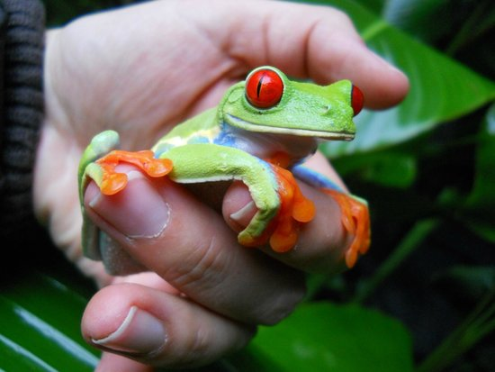 Vara Blanca, Costa Rica: Red eye frog
