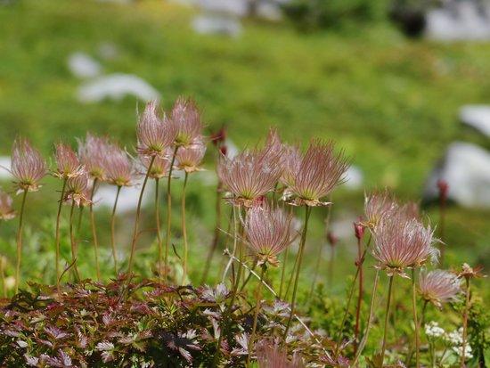 Kiso Komagatake: 高山植物もきれいに撮れました。