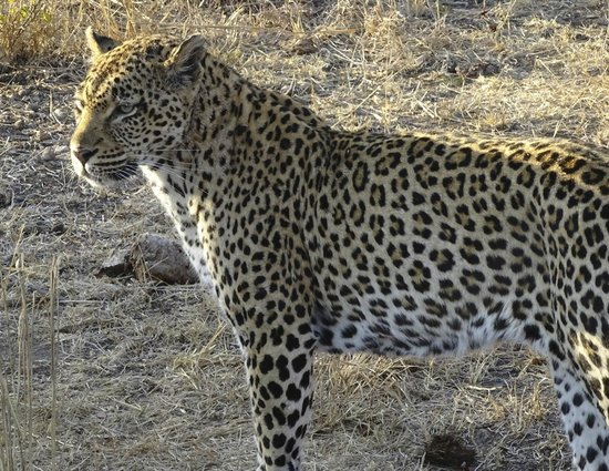 Londolozi Private Game Reserve : proud papa (to be)