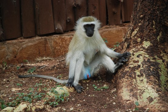 Amboseli National Park, Kenya: The vervet monkey has a vivid blue scrotum