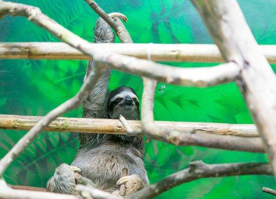 Sloth Sanctuary of Costa Rica : Близко не подпускают, 3-4 метра. Только благодаря фото оптике