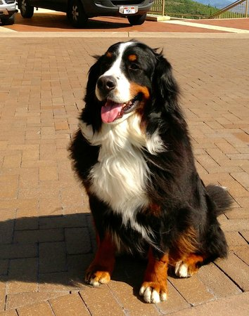 Montage Deer Valley: Jonas, one of the ambassador dogs.  Magnificent fellow.