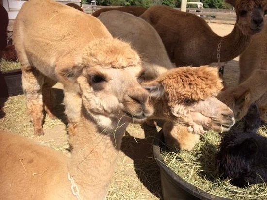 Island Alpaca Company of Martha's Vineyard: Alpacas