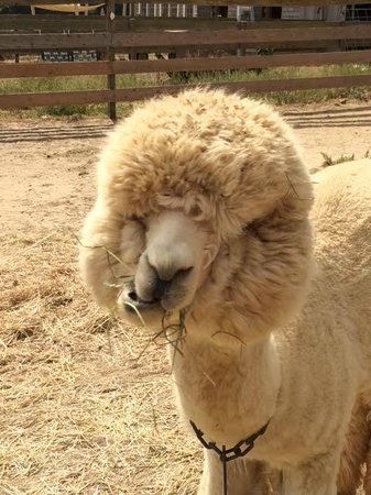 Island Alpaca Company of Martha's Vineyard: Look at this fluffy creature!!!