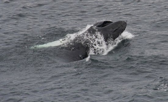 Whale feeding on Capelin