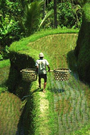 Bali Must Be Crazy: Dans les rizières