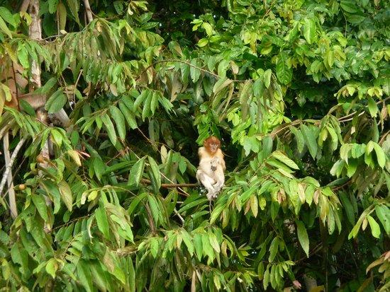 Abai Jungle Lodge : proboscis youngster