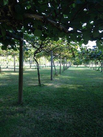 Kiwi Trees
