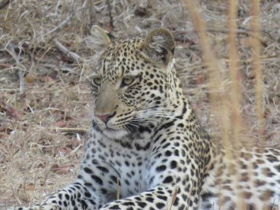 Nkwali Camp: one of our many leopard sightings