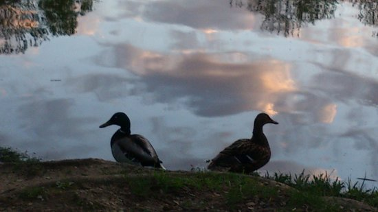 Nos amis les canards