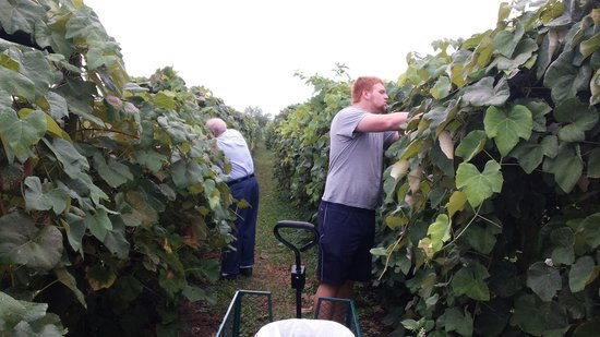 Chalfont, PA: Gathering the grapes