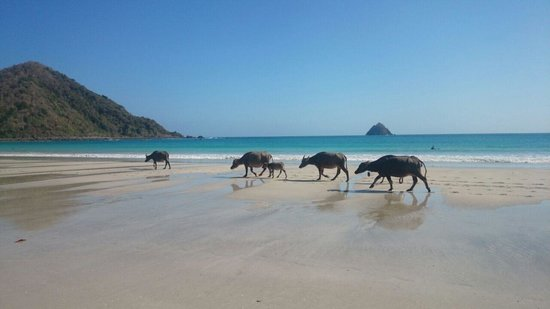 Senggigi, Ινδονησία: Buffalos at beach in South Lombok