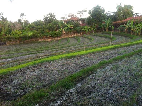 Enigma Bali Villas : Rice Field