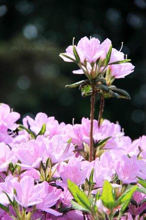 Ome, Japan: Azalea full bloom