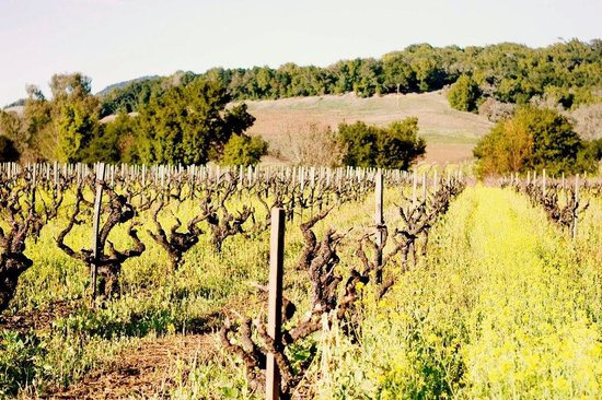 Healdsburg, Californien: Old Vines at Limerick Lane Cellars
