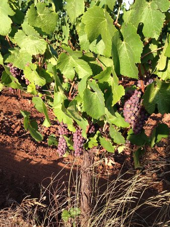 King Estate Winery: Grapes just days before September harvest