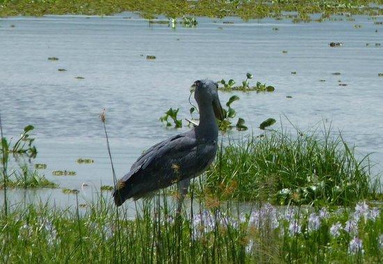 Murchison River Lodge: Shoebill Stork in the delta