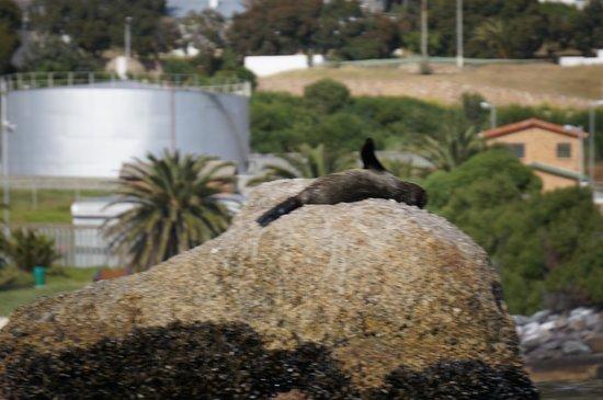 Kayak Cape Town: seal