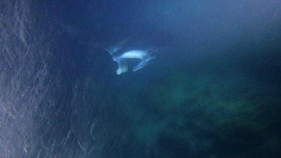 Adventures in Paradise Kayak & Snorkel: manta ray (photo is not as good as film)