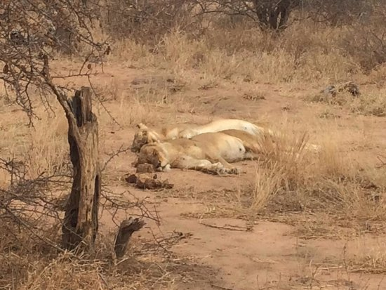 Gomo Gomo Game Lodge : Two female lions napping in the sun.