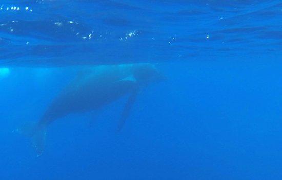 Bleu Marine Reunion: baleine