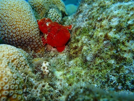 CURious2DIVE: Frog Fish