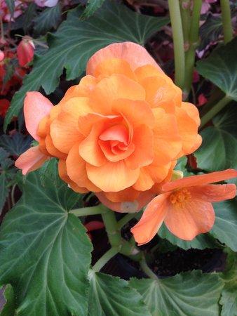 Mendocino Coast Botanical Gardens: Begonia