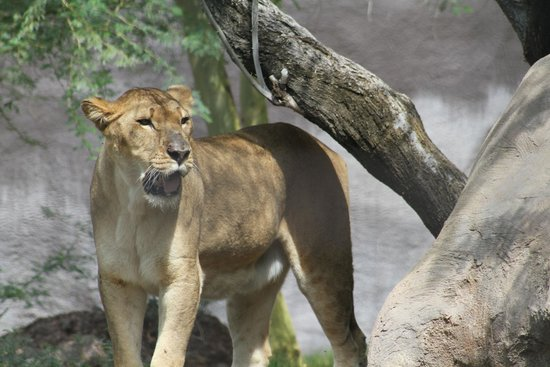 Phoenix Zoo : looking for my next lunch