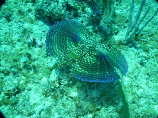 Reef Quest Divers : Flying Gurnard
