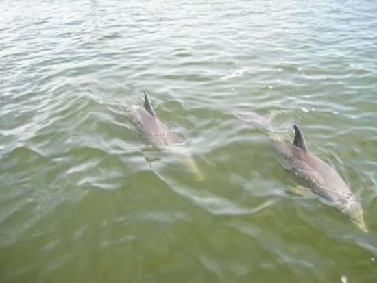 Estero Bay Express Dolphin & Sunset Boat Tours: Dolphins