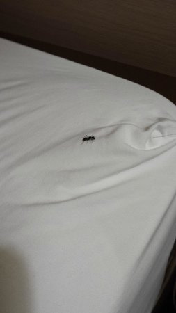Americas Best Value Inn Bridgeton - St. Louis / North: Large Ant On Bed